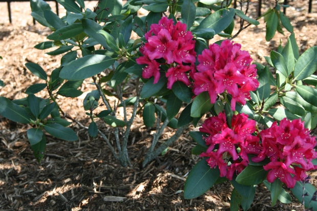 Rhodedendrums Blooming
